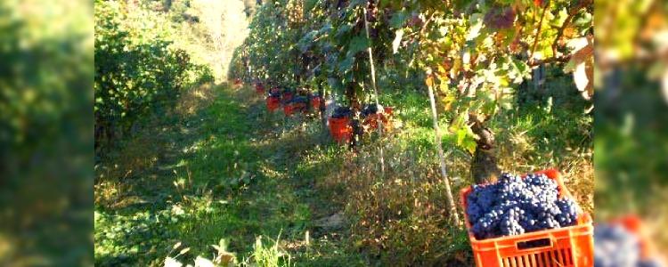 Produzione vino Barbera d'Asti a Cassinasco, Asti