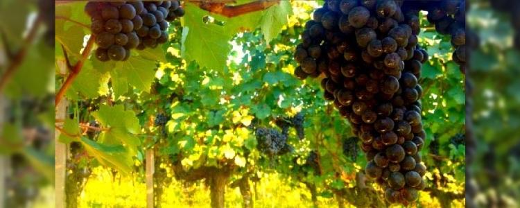 Produzione vino Barbera Monferrato a Cassinasco, Asti