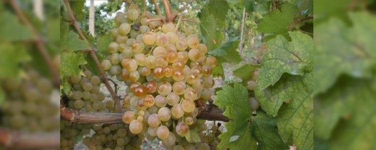 Produzione vino Cortese Alto Monferrato a Cassinasco, Asti