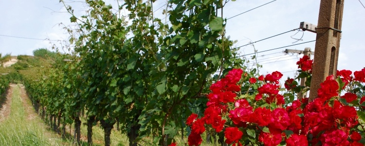 Produzione vino Dolcetto a Cassinasco, Asti