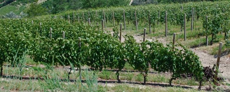 Produzione vino Moscato d'Asti a Cassinasco, Asti